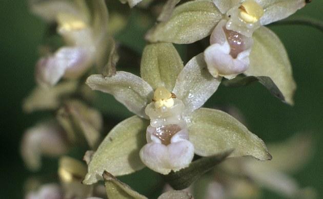 <b>Violette Stendelwurz - <i>Epipactis purpurata</i></b>