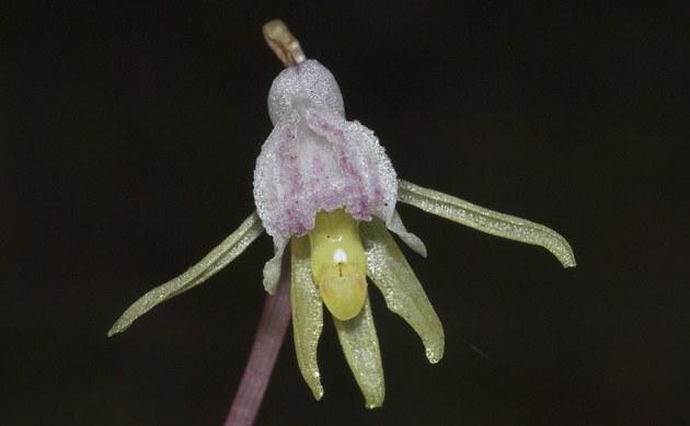 <b>Blattloser Widerbart - <i>Epipogium aphyllum</i></b>