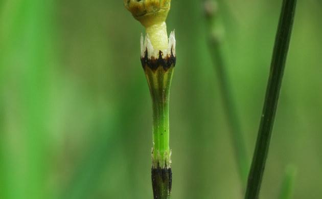 <b>Bunter Schachtelhalm - <i>Equisetum variegatum</i></b>