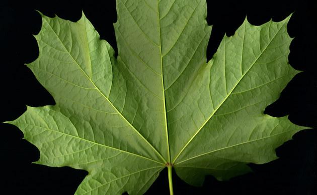 <b>Spitz-Ahorn - <i>Acer platanoides</i></b>