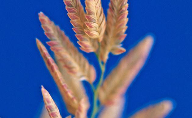 <b>Großähriges Liebesgras - <i>Eragrostis cilianensis</i></b>