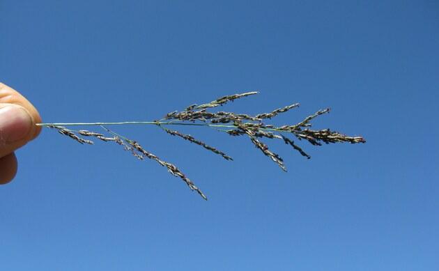 <b>Schwachgekrümmtes Liebesgras - <i>Eragrostis curvula</i></b>