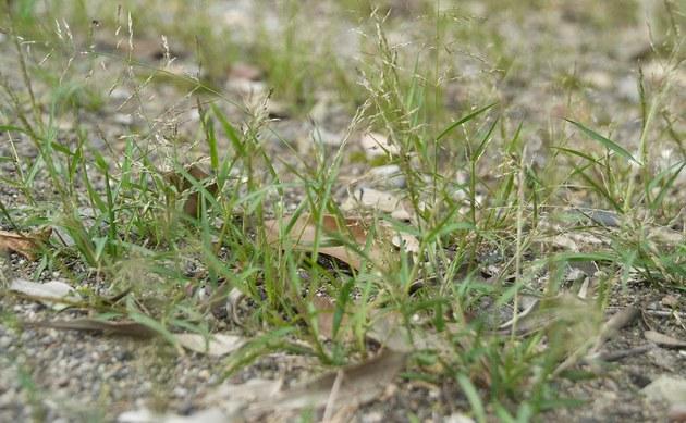 <b>Japanisches Liebesgras - <i>Eragrostis multicaulis</i></b>