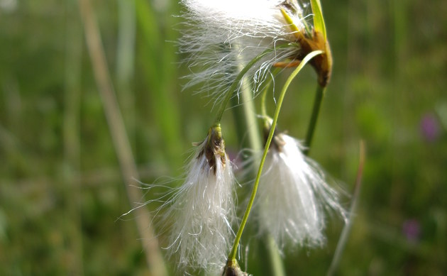 <b>Schlankes Wollgras - <i>Eriophorum gracile</i></b>