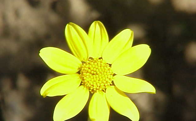 <b>Wolliges Wollblatt - <i>Eriophyllum lanatum</i></b>