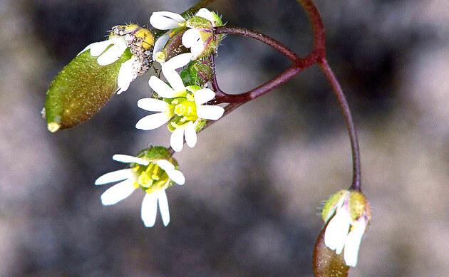 <b>Frühlings-Hungerblümchen - <i>Erophila verna</i></b>