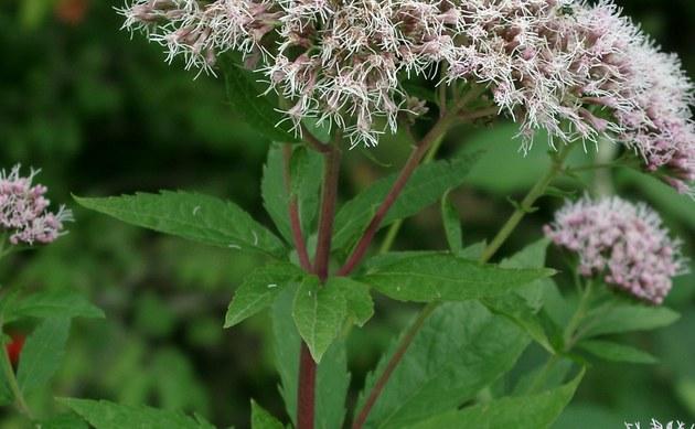 <b>Wasserdost - <i>Eupatorium cannabinum</i></b>