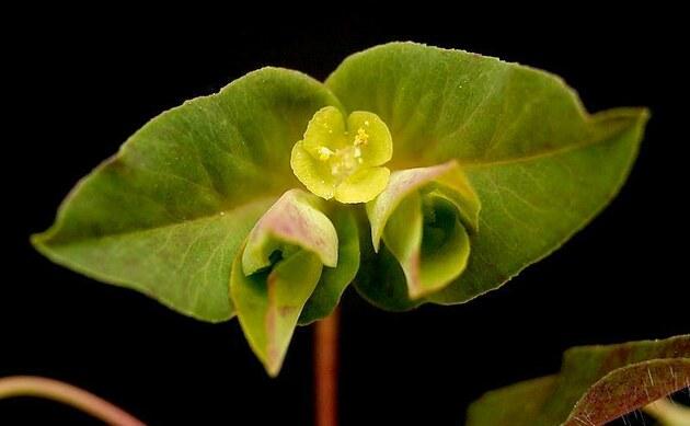 <b>Süße Wolfsmilch - <i>Euphorbia dulcis</i></b>