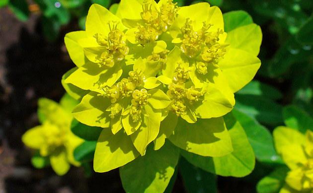 <b>Vielfarbige Wolfsmilch - <i>Euphorbia epithymoides</i></b>