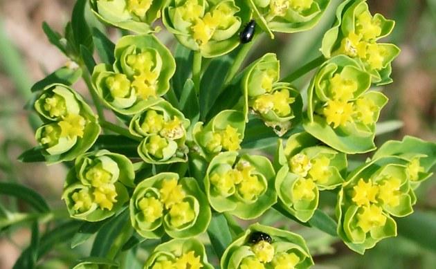 <b>Esels-Wolfsmilch - <i>Euphorbia esula</i></b>