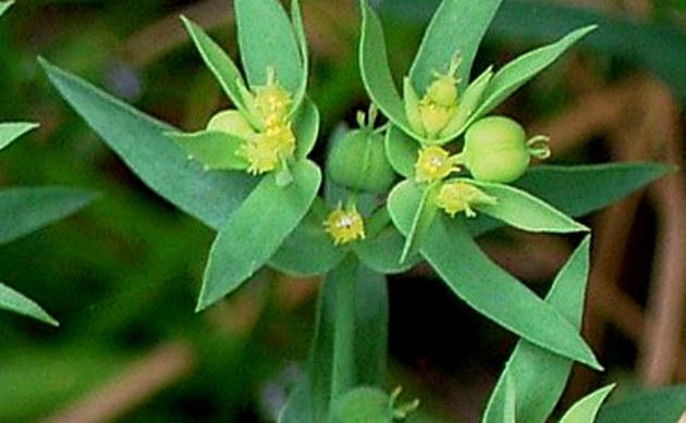 <b>Kleine Wolfsmilch - <i>Euphorbia exigua</i></b>