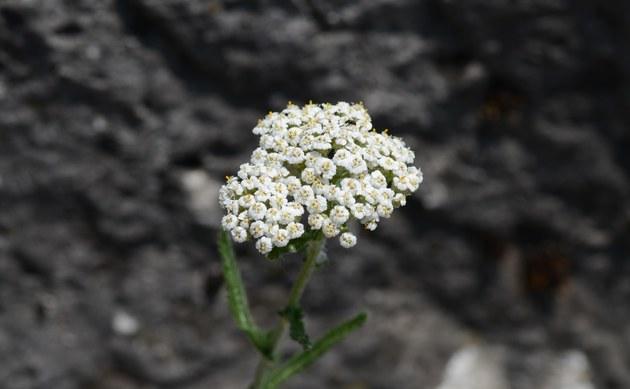<b>Hügel-Wiesenschafgarbe - <i>Achillea collina</i></b>