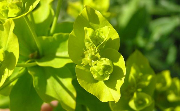 <b>Glänzende Wolfsmilch - <i>Euphorbia lucida</i></b>