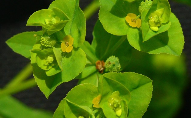 <b>Breitblättrige Wolfsmilch - <i>Euphorbia platyphyllos</i></b>