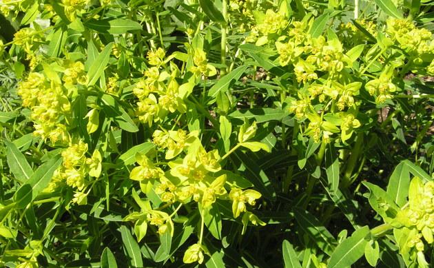 <b>Weidenblättrige Wolfsmilch - <i>Euphorbia salicifolia</i></b>