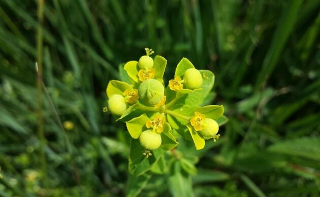 <b>Zottige Wolfsmilch - <i>Euphorbia villosa</i></b>