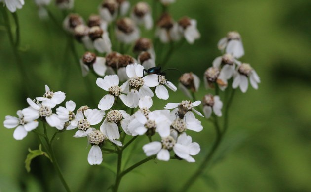 <b>Großblättrige Schafgarbe - <i>Achillea macrophylla</i></b>