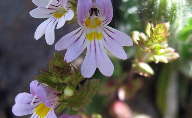 <b>Salzburger Augentrost - <i>Euphrasia salisburgensis</i></b>