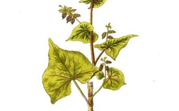 <b>Tatarischer Buchweizen - <i>Fagopyrum tataricum</i></b>