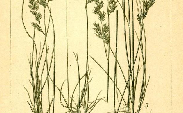 <b>Amethyst-Schwingel - <i>Festuca amethystina</i></b>