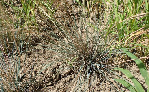 <b>Sand-Schafschwingel - <i>Festuca psammophila</i></b>