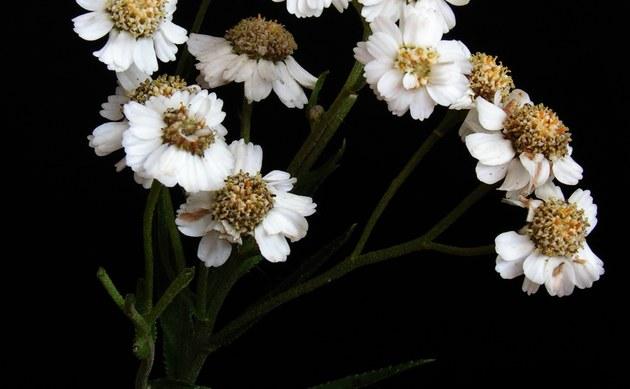 <b>Gewöhnliche Sumpf-Schafgarbe - <i>Achillea ptarmica</i></b>