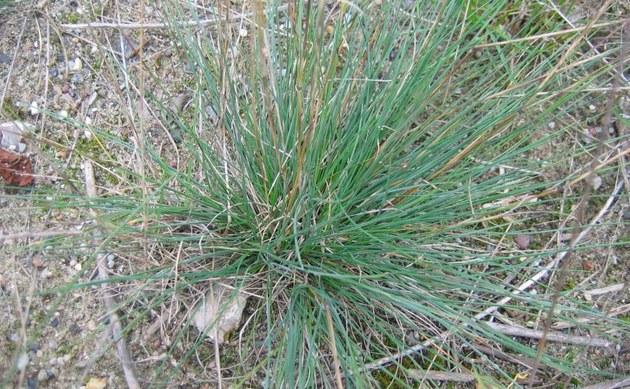 <b>Haarblättriger Schwingel - <i>Festuca trichophylla</i></b>