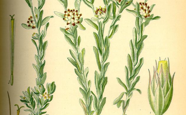 <b>Gelbliches Filzkraut - <i>Filago lutescens</i></b>