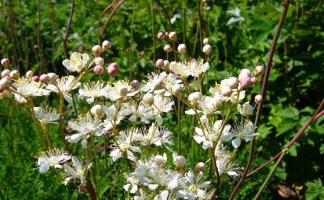 <b>Kleines Mädesüß - <i>Filipendula vulgaris</i></b>