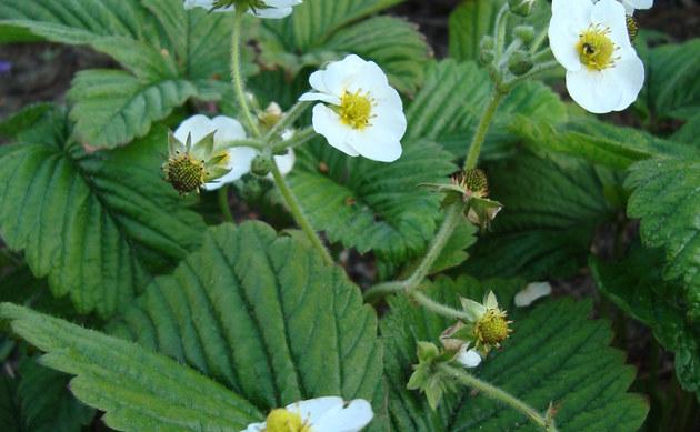<b>Zimt-Erdbeere - <i>Fragaria moschata</i></b>