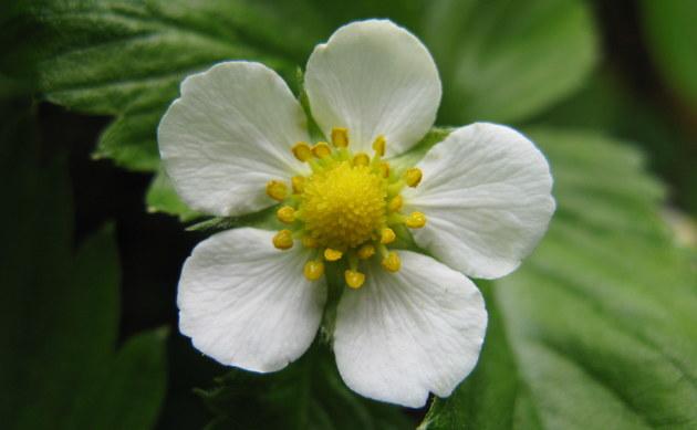 <b>Wald-Erdbeere - <i>Fragaria vesca</i></b>