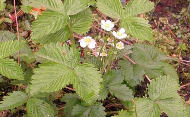 <b>Garten-Erdbeere - <i>Fragaria x ananassa</i></b>