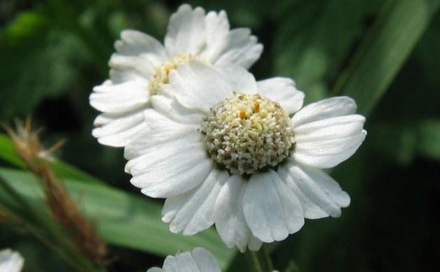 <b>Weidenblättrige Sumpf-Schafgarbe - <i>Achillea salicifolia</i></b>