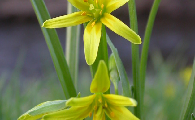 <b>Wald-Gelbstern - <i>Gagea lutea</i></b>