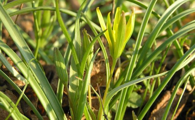 <b>Pommerscher Gelbstern - <i>Gagea pomeranica</i></b>