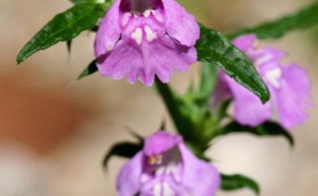 <b>Schmalblättriger Hohlzahn - <i>Galeopsis angustifolia</i></b>