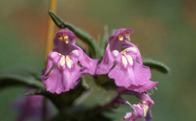 <b>Acker-Hohlzahn - <i>Galeopsis ladanum</i></b>