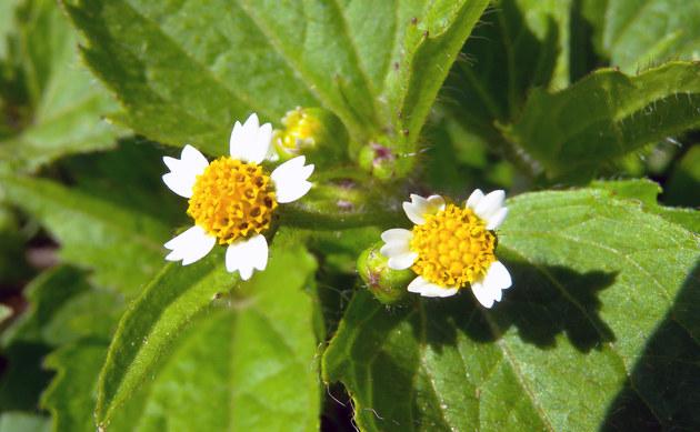 <b>Behaartes Franzosenkraut - <i>Galinsoga ciliata</i></b>