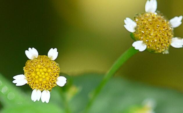 <b>Kleinblütiges Franzosenkraut - <i>Galinsoga parviflora</i></b>