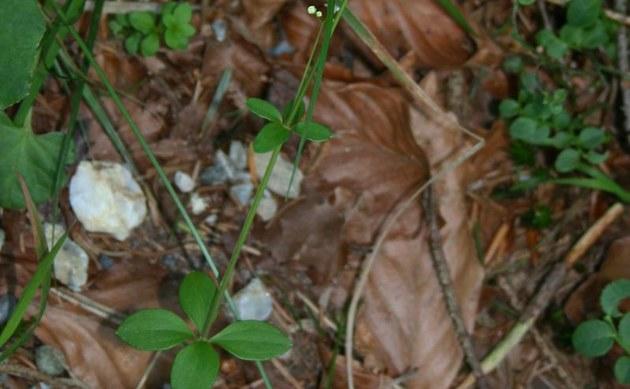 <b>Rundblättriges Labkraut - <i>Galium rotundifolium</i></b>