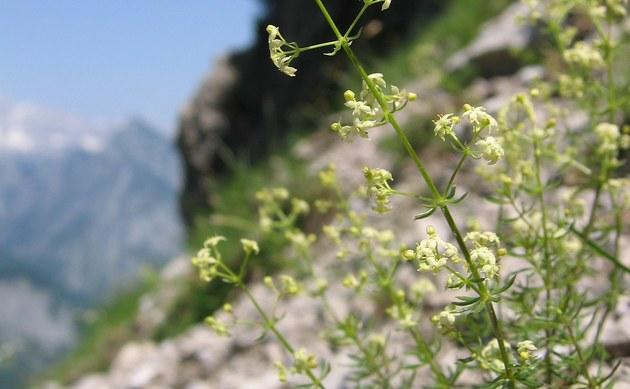 <b>Traunsee-Labkraut - <i>Galium truniacum</i></b>
