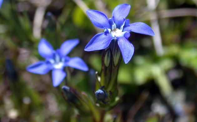 <b>Schnee-Enzian - <i>Gentiana nivalis</i></b>