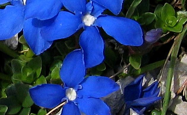 <b>Rundblättriger Enzian - <i>Gentiana orbicularis</i></b>