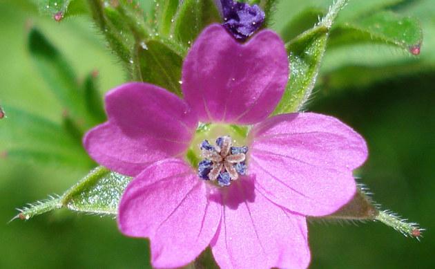 <b>Schlitzblättriger Storchschnabel - <i>Geranium dissectum</i></b>