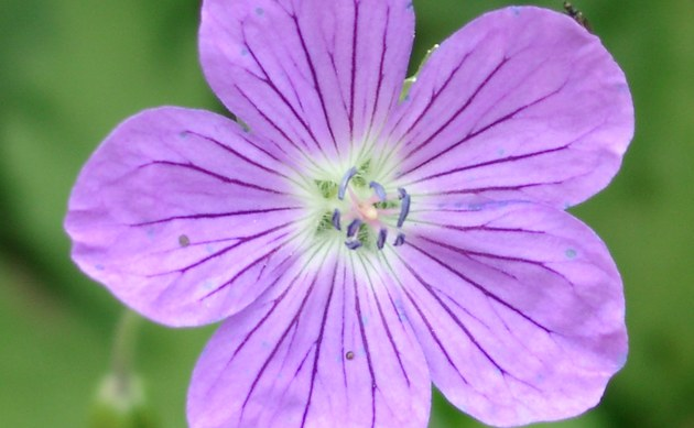 <b>Wiesen Storchschnabel - <i>Geranium pratense</i></b>