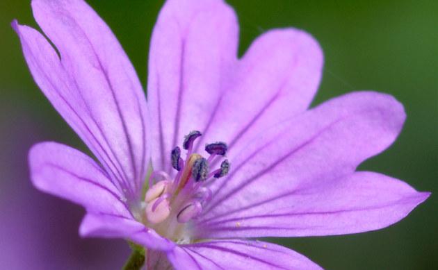 <b>Pyrenäen Storchschnabel - <i>Geranium pyrenaicum</i></b>