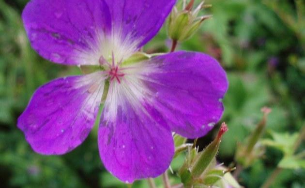 <b>Wald Storchschnabel - <i>Geranium sylvaticum</i></b>
