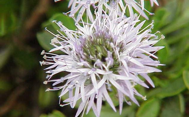<b>Herzblättrige Kugelblume - <i>Globularia cordifolia</i></b>