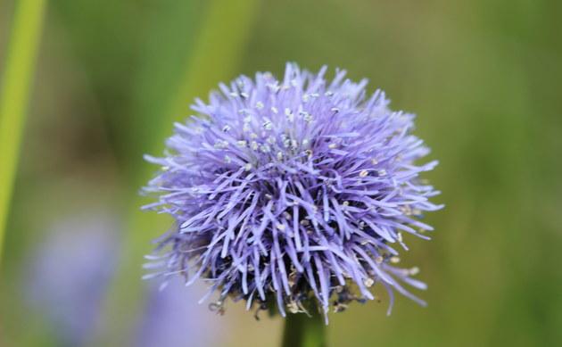 <b>Gewöhnliche Kugelblume - <i>Globularia punctata</i></b>