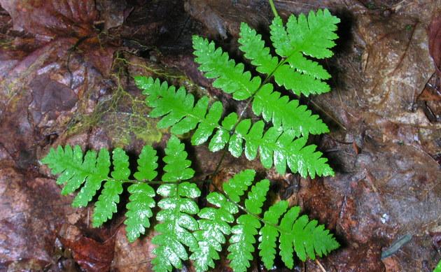 <b>Eichenfarn - <i>Gymnocarpium dryopteris</i></b>